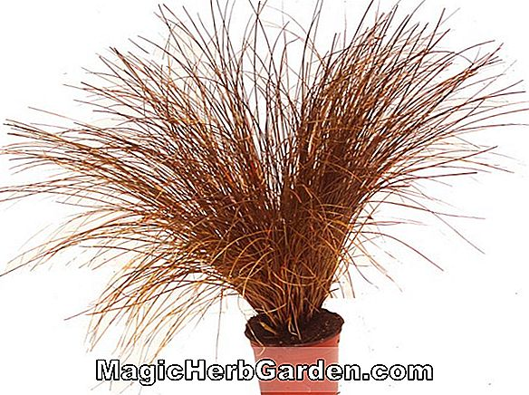 Planter: Carex petriei (Sedge)