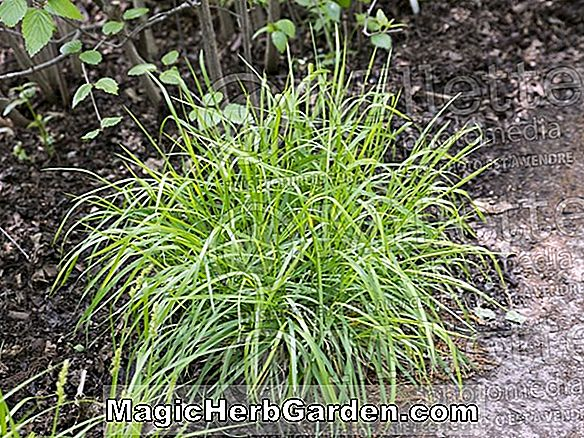 Planter: Carex sylvatica (Forest sedge)
