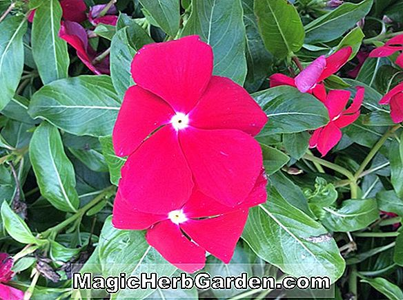 Catharanthus roseus (Cooler Series)