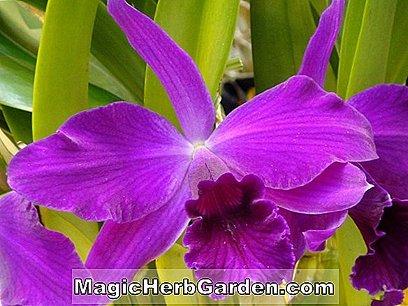 Cattleya moosiae (Cattleya-Orchidee)