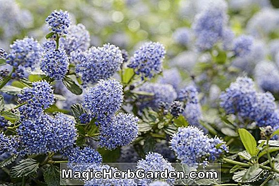 Planter: Ceanothus repens (Californien lilla)
