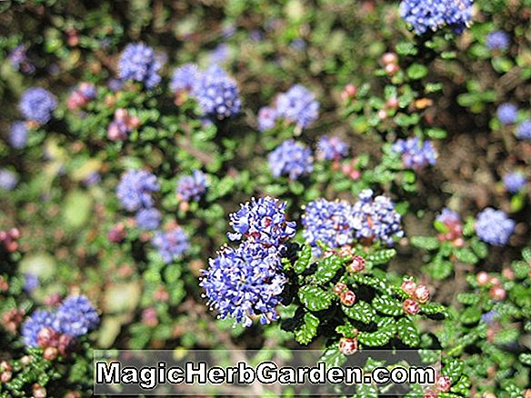 Planter: Ceanothus veitchianus (California lilac)