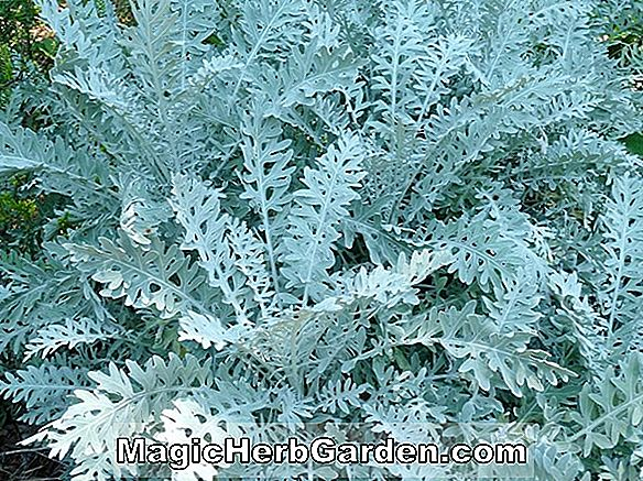 Planter: Centaurea cineraria (Dusty Miller Silver Dust)