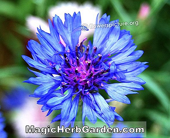 Planter: Centaurea cyanus (Bachelor's Button)