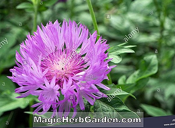 Centaurea dealbata (Knapweed)