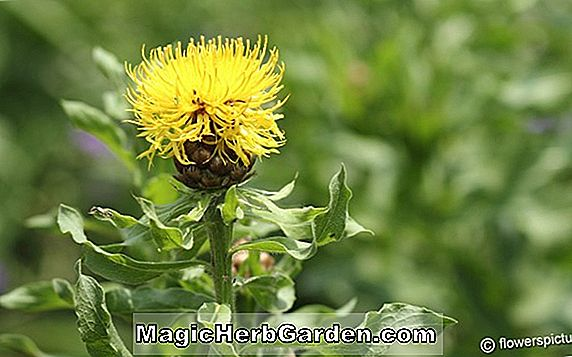 Planter: Centaurea macrocephala (Giant knapweed)