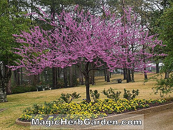 Cercis canadensis (Forest Pansy Eastern Redbud)