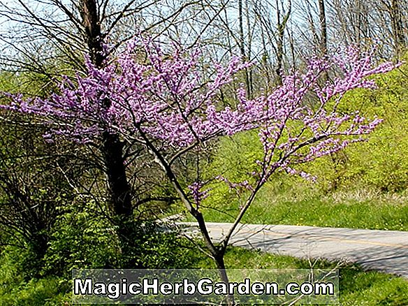 Pflanzen: Cercis canadensis (Alba Eastern Redbud)