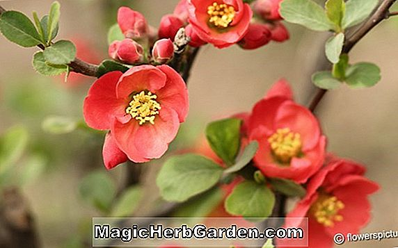Chaenomeles speciosa (Blomstrende kvede Phylis Moore)