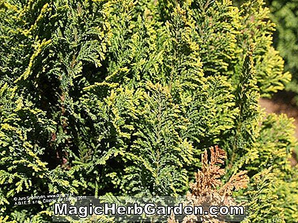 Chamaecyparis Lawsoniana (Ellwood's Pygmy False Cypress)