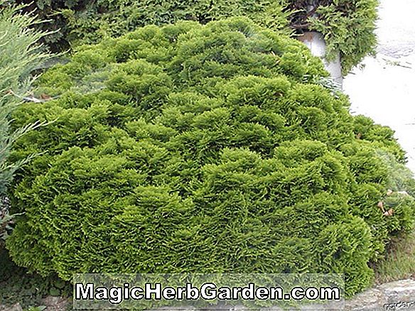 Planter: Chamaecyparis obtusa (Golden Hinoki Cypress)