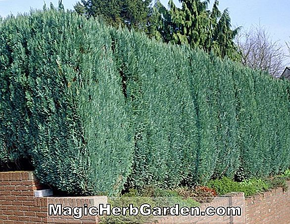 Chamaecyparis lawsoniana (Glauca Elegans False Cypress)