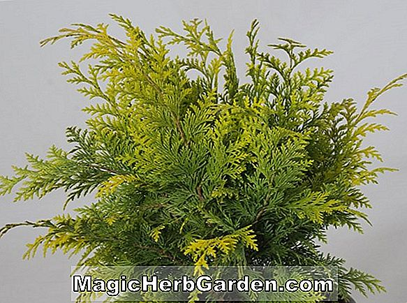 Chamaecyparis lawsoniana (Kelleriis Gold False Cypress)