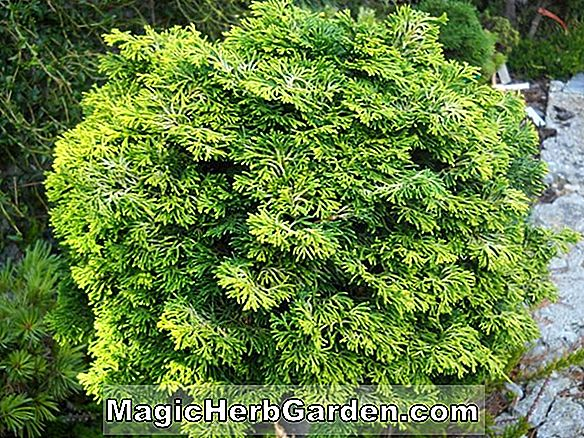 Planter: Chamaecyparis obtusa (Pygmaea Hinoki False Cypress)