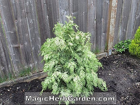 Planter: Chamaecyparis Lawsoniana (Silver Queen False Cypress)