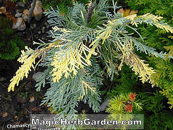 Planter: Chamaecyparis lawsoniana (Aureovariegata False Cypress)