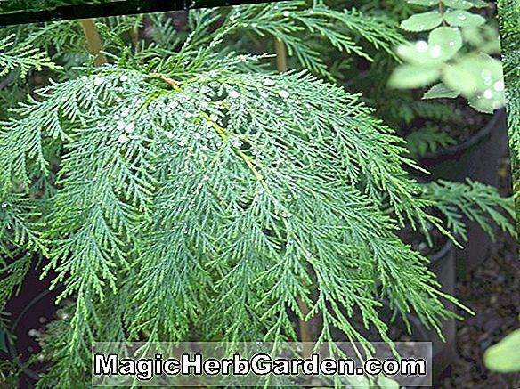 Plantes: Chamaecyparis lawsoniana (Columnaris Aurea False Cypress)