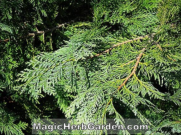 Chamaecyparis lawsoniana (Albovariegata False Cypress)