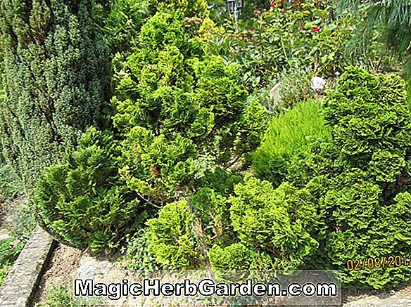 Chamaecyparis obtusa (Hage Hinoki False Cypress)