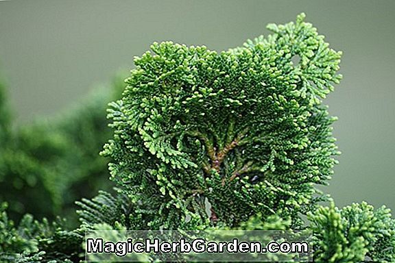 Chamaecyparis obtusa (Caespitosa Hinoki False Cypress)