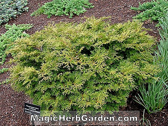 Chamaecyparis obtusa (Pygmaea Aurescens Hinoki False Cypress)