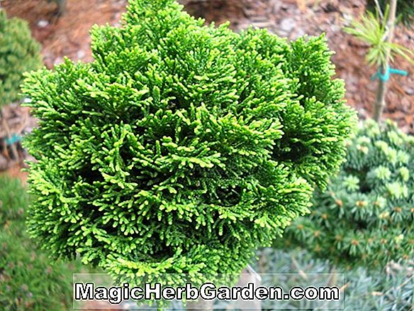 Chamaecyparis obtusa (Rigid Dwarf Hinoki False Cypress)