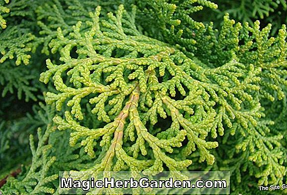 Planter: Chamaecyparis obtusa (Cypress)