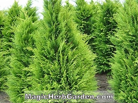 Chamaecyparis obtusa (Fernspray Gold Hinoki False Cypress)