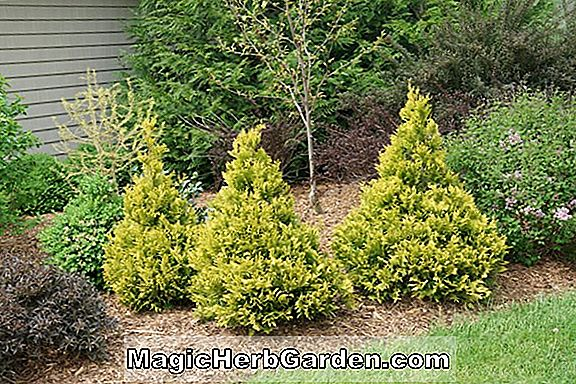 Chamaecyparis pisifera (Bright Gold Sawara False Cypress)