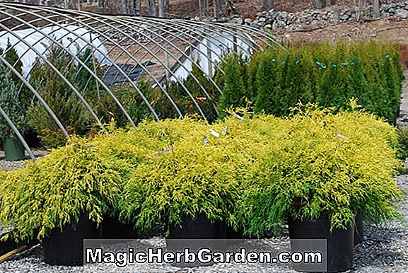 Planter: Chamaecyparis pisifera (Filifera Aurea Nana Sawara False Cypress)