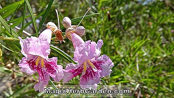 Chilopsis linearis (Desert Willow Chilopsis)