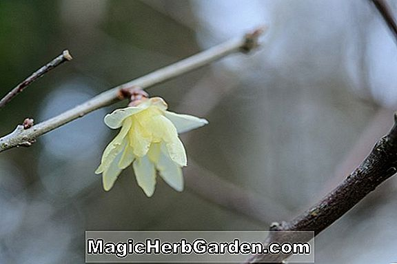 Planter: Chimonanthus (Chimonanthus)