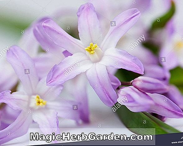 Planter: Chionodoxa forbesii (Glory of the Snow Pink Giant)
