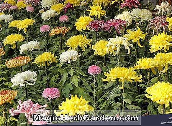 Chrysanthemum (Lakeside Chrysanthemum)