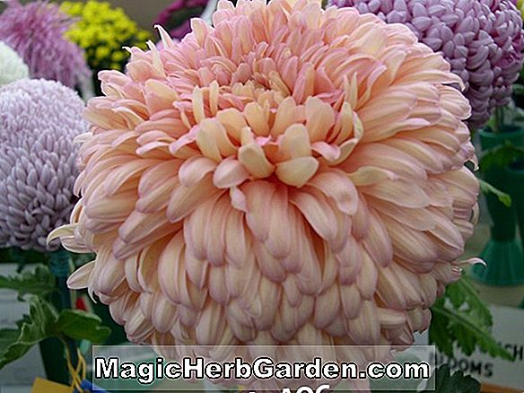 Chrysanthemum (Marlene Jones Chrysanthemum)