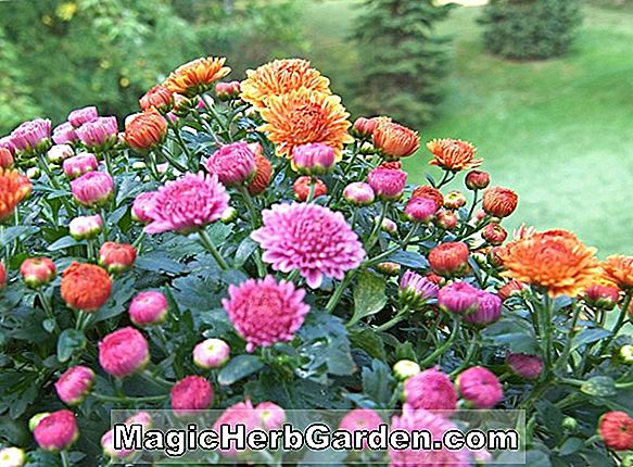Planter: Chrysanthemum (Skaterens Waltz Chrysanthemum)