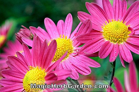 Planter: Chrysanthemum (Nattergale Chrysanthemum)