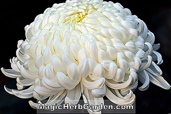 Chrysanthemum (Pavilion Chrysanthemum)
