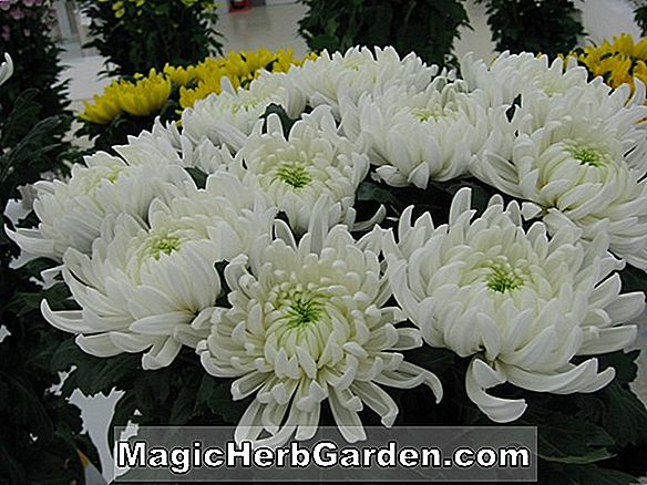 Chrysanthemum (San Ramon Chrysanthemum)