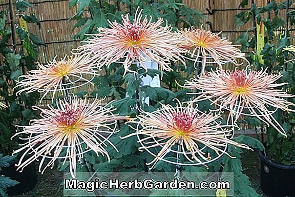 Planter: Chrysanthemum (Space Hall Chrysanthemum)
