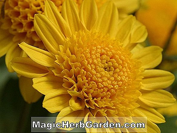 Chrysanthemum (Bright Golden Anne krysantemum)