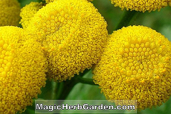 Chrysanthemum (Yellow Gold Chrysanthemum)