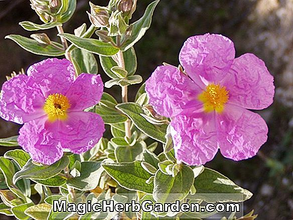 Cistus albidus (Rock Rose)