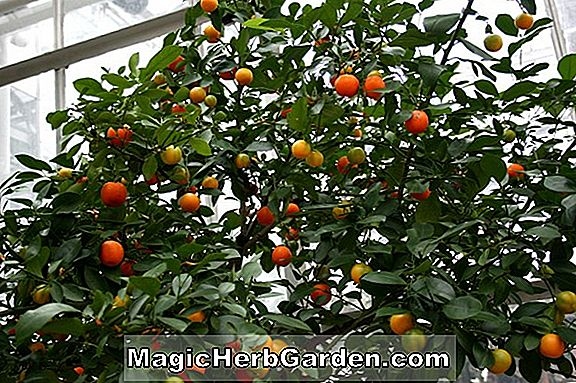 Planter: Citrofortunella (Calamondin Orange)