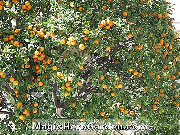 Citrus sinensis (Valencia Orange Citrus)