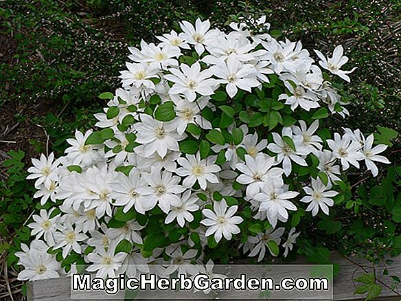 Clematis (Henry Clematis)