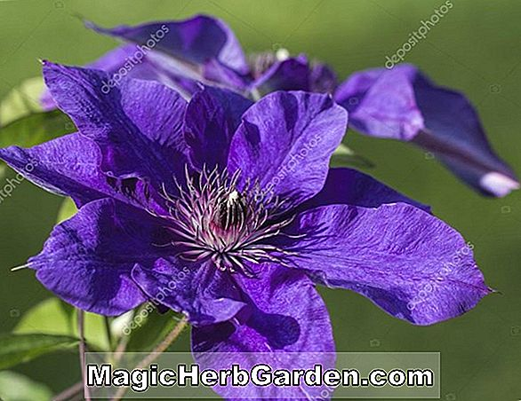 Planter: Clematis (Jackmans Superb Clematis)