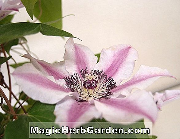 Clematis (Lady Betty Balfour Clematis)