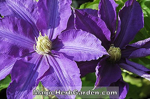 Clematis (Lady Northcliffe Clematis)