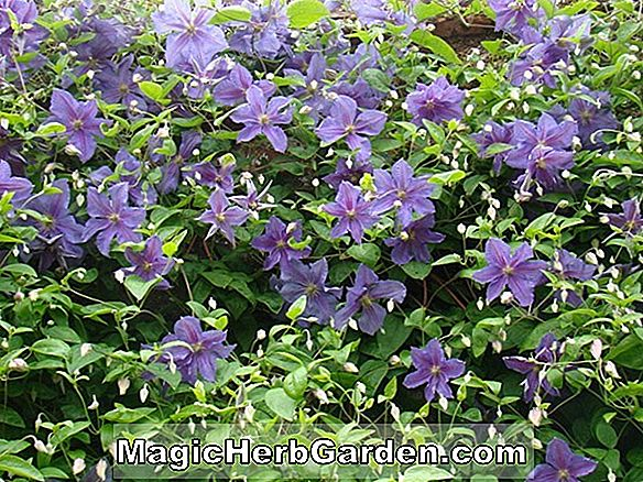 Clematis (Richard Pennell Clematis)